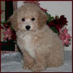 Bichon Poodle, Poochon, hybrid puppies for sale, Mixed Breed Puppy - Dog Breeders Specializing in Healthy, Beautiful Mixed Breed Dogs. Pictures of Adult Bichon Poodle Dogs. Bengal Cat For Sale, Cats For Sale, Bengal Cats, Bichon Poodle Mix, Poodle Puppies For Sale, Poochon Puppies, Toyger Cat, Asian Leopard Cat, Spotted Cat