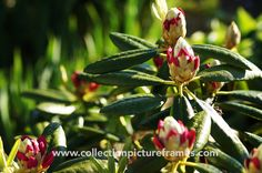 Rhododendron buds by Collection Picture Frames on @creativemarket