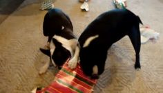These 2 Boston Terriers are fast at Opening their Christmas Present! Watch ► http://www.bterrier.com/?p=9694