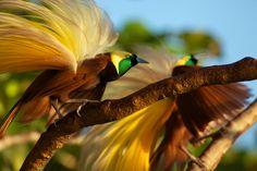Foto van de dag: De Grote Paradijsvogel. Bekijk hier meer foto's van National Geographic: http://natgeotv.com/nl/photo-of-the-day