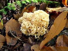 6 Grote sponszwam (Sparassis crispa).jpg   Droog is de paddenstoel zeer bros. De korte, dikvlezige, geelbruine steel is enigszins vergroeid met het substraat en lijkt op een koolstronk. Het bleekgele, taaie, kruidige vlees heeft een nootachtige smaak en een zoete geur.