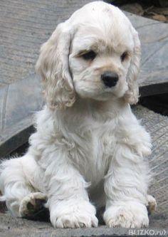 щенок кокер спаниель фото - Поиск в Google
