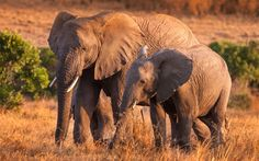 Download wallpapers elephants, mother and cub, wildlife, Africa