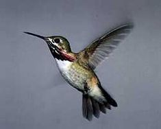 The Calliope prefers high mountains, and has been seen as high as 11,000 feet. It builds its nests over creeks or over roads next to streams or lakes, usually repairing the previous year's nest or constructing a new one atop the old. This bird usually forages within five feet of the ground