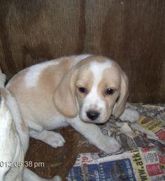 Oh how I love a lemon beagle!