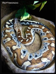 Python brongersmai, commonly known as Brongersma's short-tailed python, the blood python, or the red short-tailed python, nonvenomous, Malay Peninsula