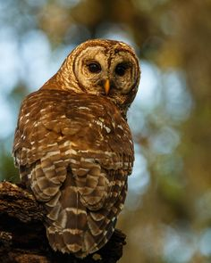 Barred owl hunting for lizards for her two hungry owlets.  I also have a short…