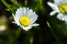 English Daisy Photo by Rupinder Sandhu -- National Geographic Your Shot