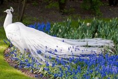 White peacock in grape hyacinth.