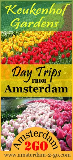 Each year during a limited time of eight weeks, the Keukenhof Gardens and Tulip Fields come alive with seven million spring bulbs, hyacinths, tulips and daffodils. | amsterdam travel, netherlands, red light district, keukenhof gardens, things to do in amsterdam, amsterdam market, amsterdam food, amsterdam tours, tips for visiting amsterdam, tulip blossoms, flower blossoms, what to see around amsterdam