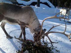 """Jäkälä"" is a kind of moss - a favourite food for reindeer. http://wildnordic.fi/safaris/reindeer-tours/"