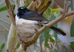 """Willie Wagtail, Rhipidura leucophrys +=============+ """"Hey, Mum, I want to see what's going on."""" She is not sitting in the nest, but rather standing on it. Under those feathers are three young chicks. Normally I'd like to spend some time with a nesting bird, letting it get used to my presence, until I get introduced, but found this one alongside a track, and decided to get a shot. She, quite rightly took u..."""