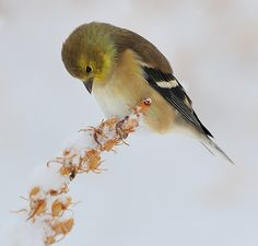 | American Goldfinch Searching for Seeds by dziegler