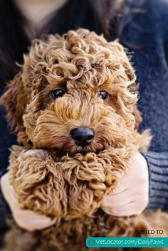 Daily Paws Picture of the Day: Cuddly Labradoodle - http://www.vetlocator.com/dailypaws/2013/03/daily-paws-picture-of-the-day-cuddly-labradoodle/