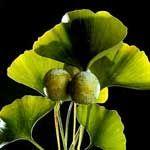 Ginkgo Biloba Uses in Herbal Medicine - http://www.healtharticles101.com/ginkgo-biloba-uses-in-herbal-medicine/#more-5451