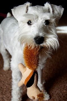Yuki and Her Squirrel by Melissa Heard #Miniature #Schnauzer