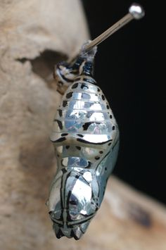Metallic Chrysalis from Costa Rica: Cream Spotted Clearwing Butterfly - What's That Bug? Butterfly Pupa, Butterfly Cocoon, Butterfly Chrysalis, Butterfly Dragon, Monarch Butterfly, Cool Insects, Bugs And Insects, Beautiful Bugs, Beautiful Butterflies