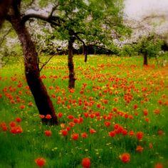 The tulip orchard, Britz, Berlin, Germany