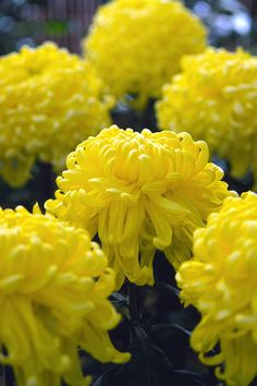 these make amazing houseplants...Chrysanthemum.