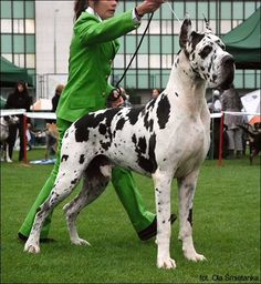 Great Dane - Dogue Alemão … Blue Merle Great Dane, Merle Great Danes, Harlequin Great Danes, Beautiful Dogs, Animals Beautiful, Cute Animals, Great Dane Dogs, Best Dogs, Weimaraner