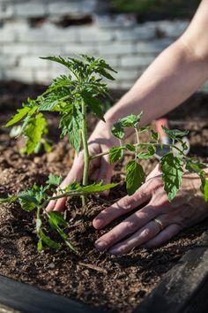 Growing Tomatoes - Tips