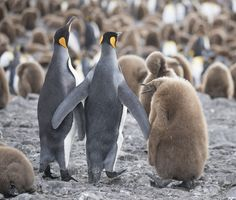 Family stroll. - King Penguin family walking in colony on Salisbury Plain, South Georgia.