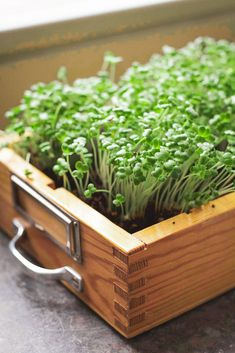 Garten Fräulein Growing cress Acne - What Causes Acne? Used Cloth Diapers, Aquaponics Plants, Cress, Kids Growing Up, Seed Starting, Planting Seeds, Healthy Alternatives, Growing Plants, Fruits And Veggies