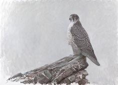 Olja-arkiv - Lars Jonsson Birds Of Prey, Wildlife Art, Raptors, Bird Art, Museum, Falcons, Zentangles, Hawks, Animals