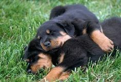 PUP 12 01 © Kimball Stock Rottweiler Puppies Sleeping On Lawn Rottweiler Training, Rottweiler Love, Rottweiler Puppies, Dog Training, Animals And Pets, Cute Animals, Baby Animals, Pitbull Puppies For Sale, Baby Puppies