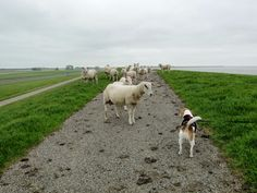 Bibi the Beagle on a dyke in Holland