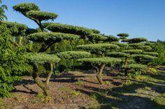 IMG_4030 Pinus sylvestris 'Watereri' Bonsai-alakfa