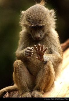 Let's see, one two three four, yep all there. Dumb Animals, Animals And Pets, Baby Animals, Primates, Mammals, South Africa Wildlife, Ape Monkey, Baboon, Mundo Animal