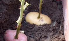 Il pique une rose dans une pomme de terre! Une semaine plus tard, ce qui pousse vous épatera!