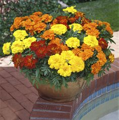 Marigold 'French Fancy' -  Noted for producing large, long-lasting flowers early in the season these compact French marigolds will add a brilliant splash of colour to the front of a summer bedding scheme - and they also do very well in pots and containers. Prefering a really sunny spot, they are more tolerant of drought than most of the other bedding plants, so are a good option if you are likely to forget to water them every day.