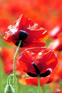 poppy field by indycoon, via Flickr