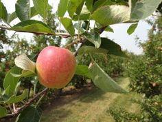 Ontarians showing their apple love online http://www.foodandfarmingcanada.com/2014/05/06/ontarians-apple-love/