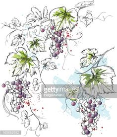 View top quality illustrations of Ink Watercolor Grapevine. Find premium, high-resolution illustrative art at Getty Images. Grape Drawing, Vine Drawing, Grape Wallpaper, Vine Tattoos, Jobs In Art, Woodland Flowers, Free Illustrations, Wine Art, Thread Art