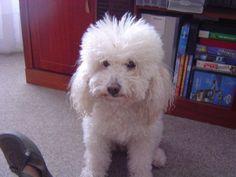 MyFrench Poodle Zamba Aged 16 years
