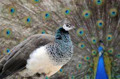 bk2 Indian Peacock, Brookfield Zoo, Bird Feathers, Cute Animals, Birds, Beautiful, Peacocks, Recherche Google, Homestead