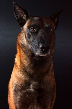 Belgian Malinois, looks a lot like turbos face, same eyes. Maybe he is part Belgian Malinois
