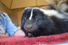 Animal Encounters at Dade City's Wild Things Striped Skunk, Dade City, Skunks, Wild Things, Rabbit, Photographs, Florida, Travel, Animals