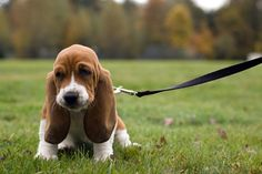 awwww i want a bassett hound. maybe this is Toby's significate hound <33
