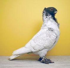 Satinette vs Blondette - Pigeon-Talk