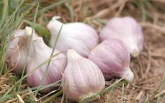 Garlic. Not only is it easy to grow, but it's also a beautiful addition to your garden. Here's our step-by-step guide.