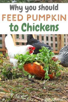 It's officially pumpkin season, and while most people are decorating their porches, chicken enthusiasts are giving their chickens a seasonal treat! Why is it a good idea to give your backyard chickens pumpkin? I've got three great reasons! Check it out! #backyardchickeksn #chickenmama #chickens #homesteading Raising Meat Chickens, Raising Backyard Chickens, Backyard Poultry, Keeping Chickens, Chicken Pumpkin, Chicken Eggs, Chicken Items, Chicken Coops, Subsistence Agriculture