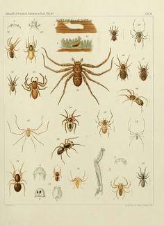 Japanische Spinnen - BioStor