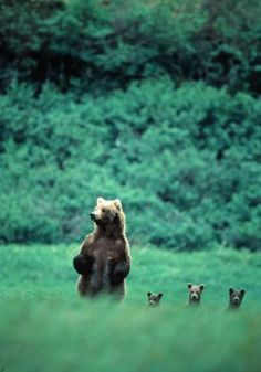Momma Bear and Three Cubs.
