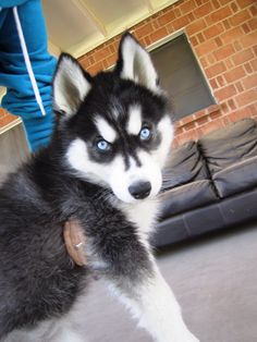 Blue eyes husky puppy