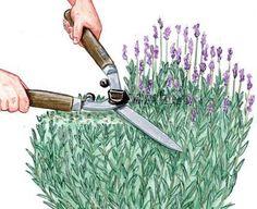 Lavendel schneiden & pflegen