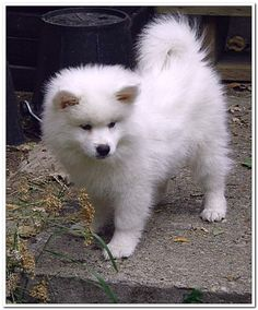American Eskimo Dog Puppy.
